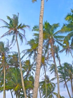 Mentawii Palms